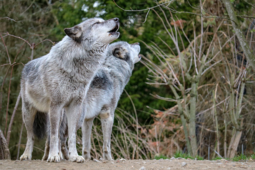 two howling wolfs in northern Germany 1141710377
