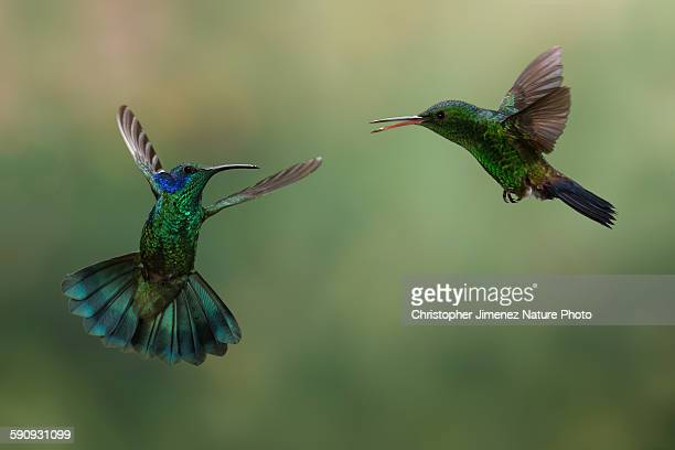 two hummingbirds fighting in flight - christopher jimenez nature photo stock pictures, royalty-free photos & images