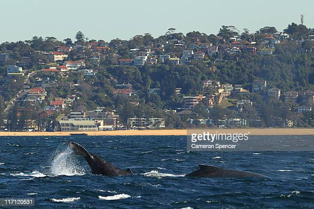 Two humpback whales surface off Sydney's northern beaches at the beginning of whale watching season during a Manly Whale Watching tour on June 23...