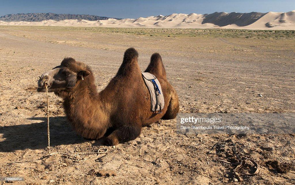 Two Humped Bactrian Camel In Gobi Desert Stock Photo