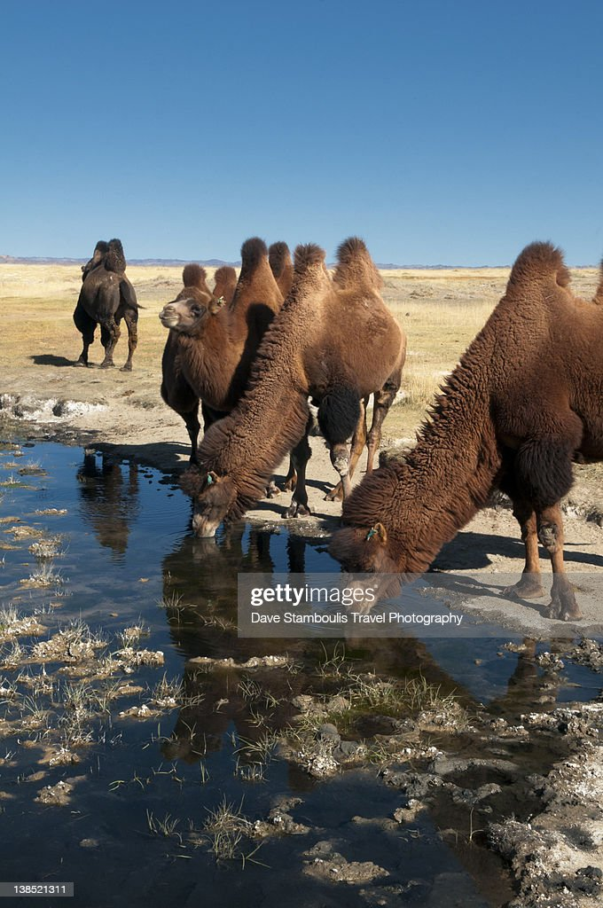 Two Humped Bactrian Camels In Gobi Desert Stock Photo