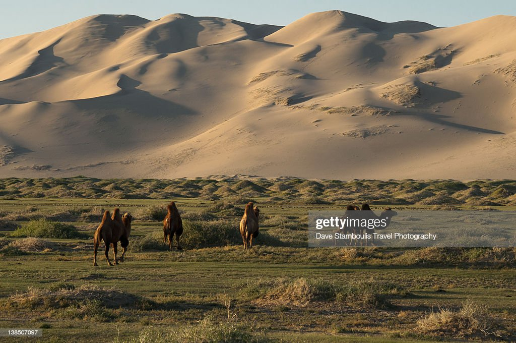 Two Humped Bactrian Camels Stock Photo