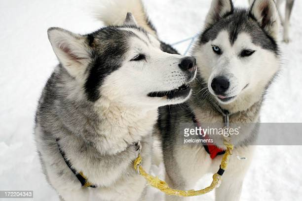 Two husky dogs while sledding on snow