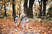 two siberian huskies are running autumn