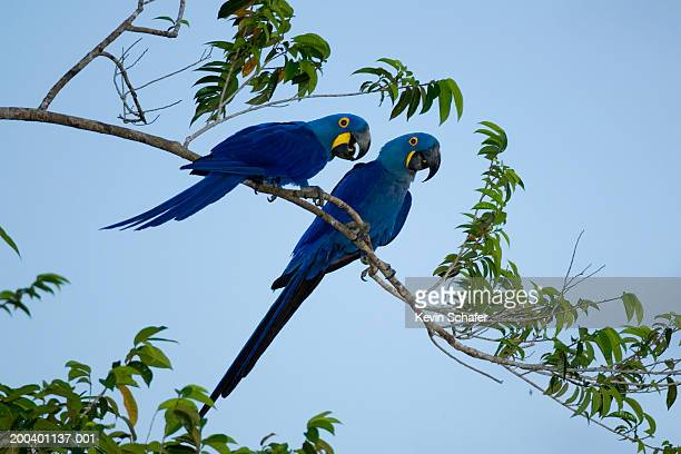 two hyacinth macaws (anodorhynchus hyacinthinus) perching on branch - macaw stock pictures, royalty-free photos & images
