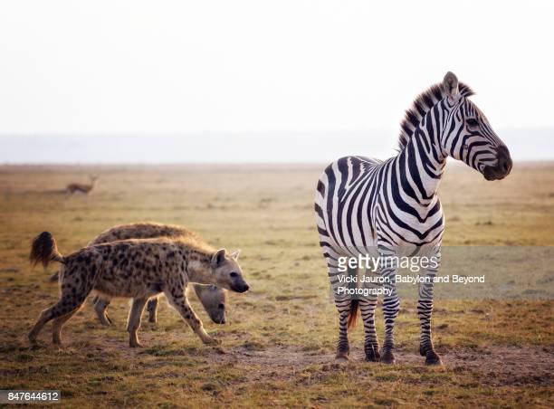 two hyena approaching a zebra - hyena stock pictures, royalty-free photos & images