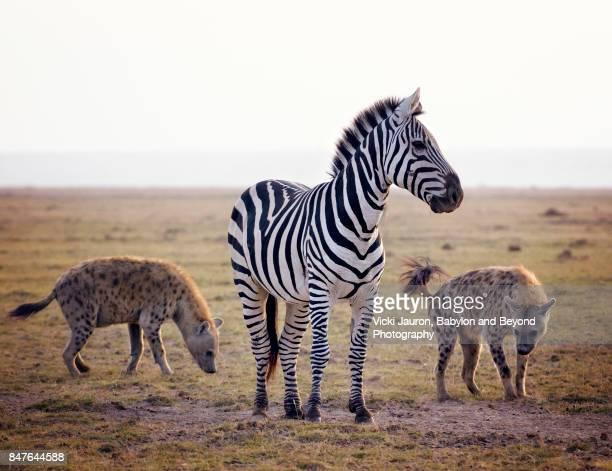 Two Hyena Circling a Zebra