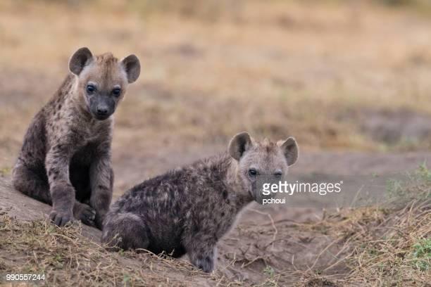 Two Hyenas, Africa