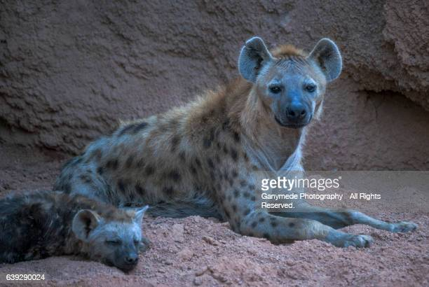 Two Hyenas