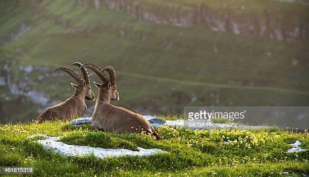 Two Ibex (Capra ibex) in the Swiss Alps at sunrise