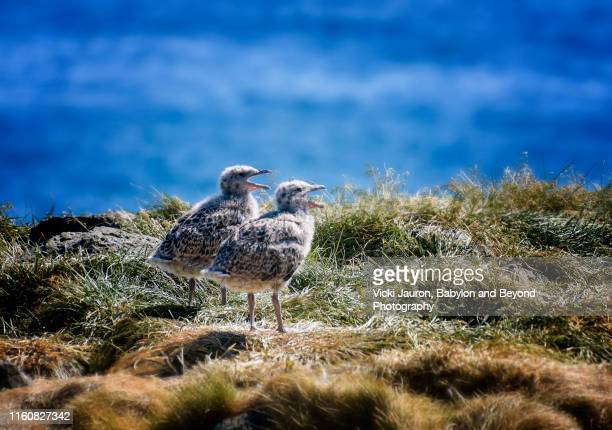 two iceland gull chicks at arnestapi, iceland - rookery stock pictures, royalty-free photos & images