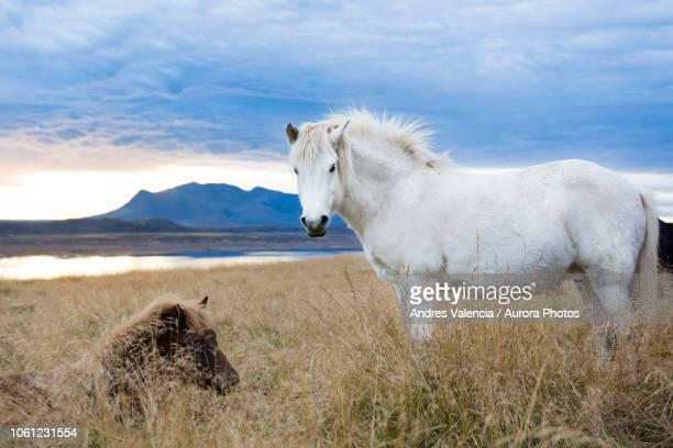 Two Icelandic horses resting in foxtail field, Hvitserkur, Iceland