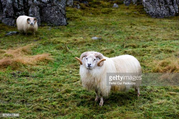 two icelandic sheep at djúpivogur, eastern iceland - icelandic sheep stock photos and pictures