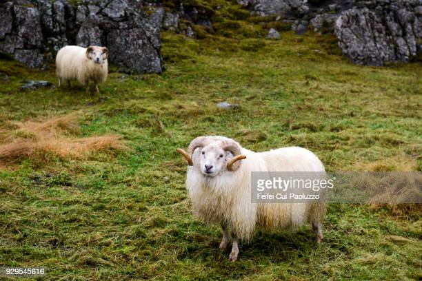 two icelandic sheep at djúpivogur, eastern iceland - austurland stock pictures, royalty-free photos & images