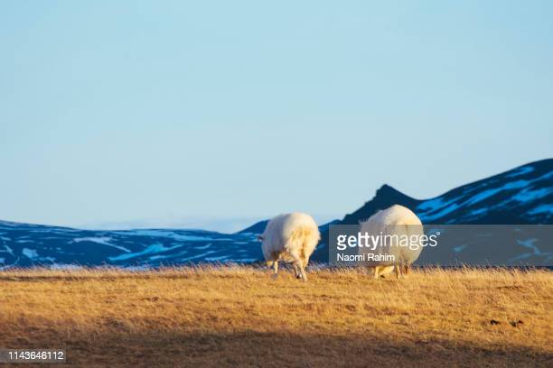 two icelandic sheep grazing in northern iceland - icelandic sheep stock photos and pictures