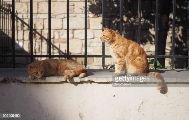 Two identical orange tabby stray cat sunbathing.