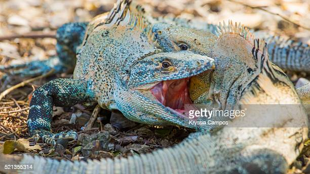 two iguanas biting during fight on territory in the wild - iguana family stock photos and pictures