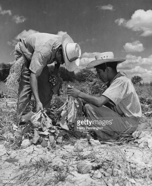 Latest News Illegal Immigrants: Two Illegal Immigrants From Mexico Working On A Farm Tying