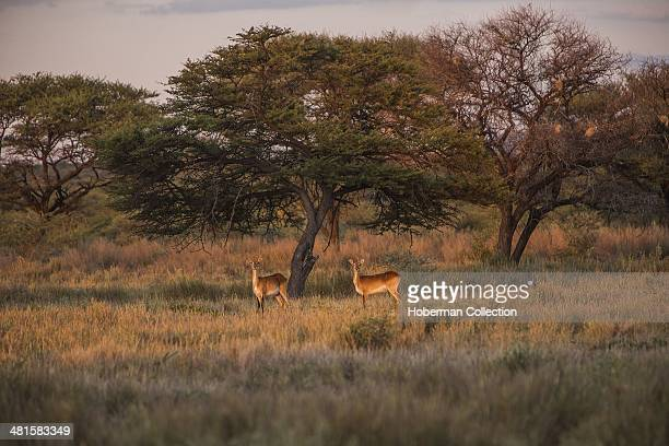 Two Impala Antelope Curiously Looking At Tourists During Sunset Drive At Frans Indongo Lodge In Namibia