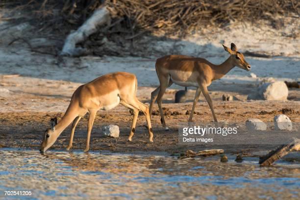 Two impalas (Aepyceros melampus) drinking in river, Savuti marsh, Chobe National Park, Botswana