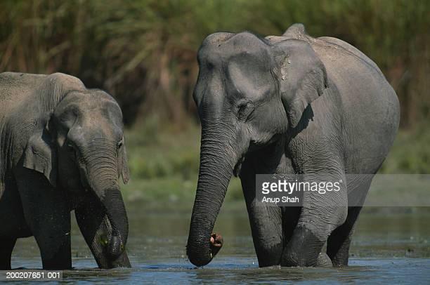 Two indian elephants (Elephas maximus) in water, Kazaringa N.P, India