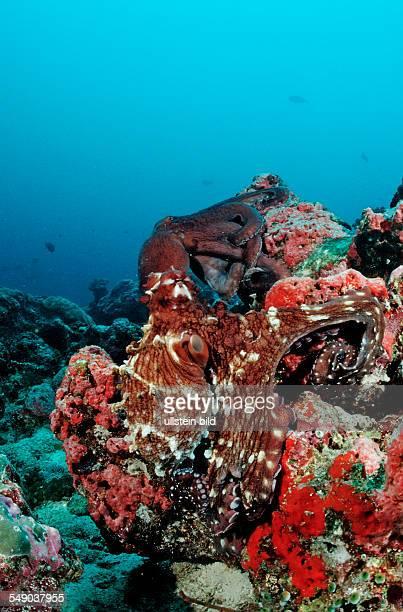 Two IndoPacific DayOctopus mating Octopus cyanea Maldives Indian Ocean Meemu Atoll