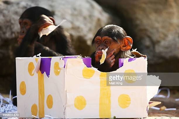 Two infant Chimpanzees play at Taronga Zoo on December 4 2015 in Sydney Australia Taronga's animals were given special Christmasthemed enrichment...