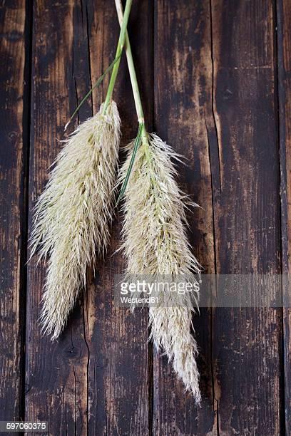 two inflorescences of pampas grass on dark wood - pampa stock-fotos und bilder