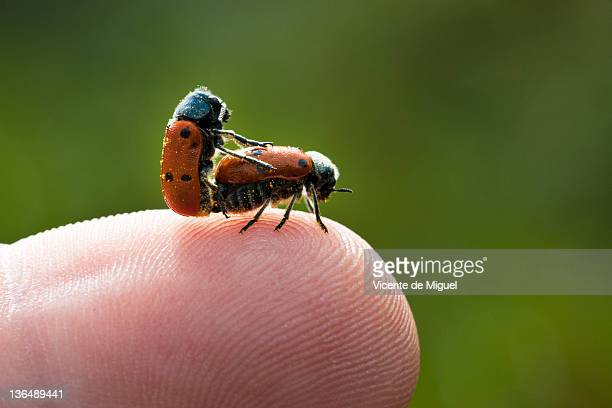 two insect mating on human finger - tierpaarung stock-fotos und bilder