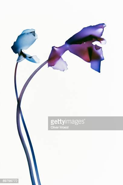 Two irises intertwined
