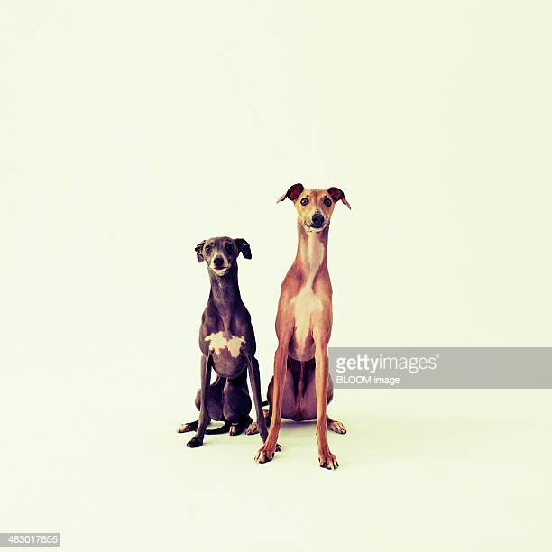 Two Italian Greyhounds