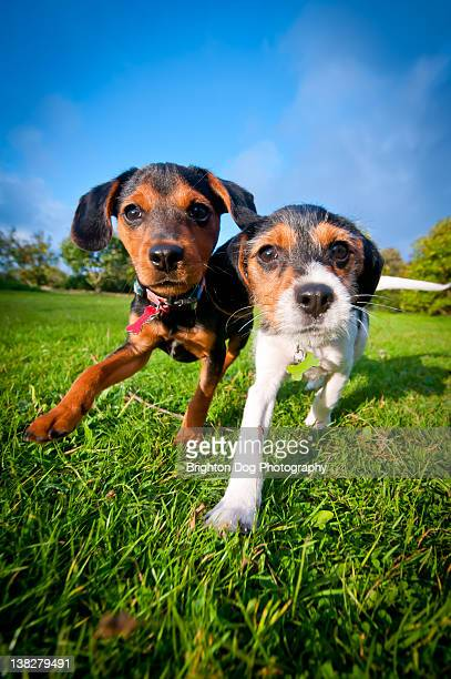 Two Jack Russell puppies playing in field