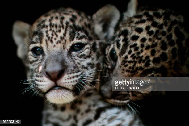 Two jaguar cub are pictured at the 'Reino Animal' zoo in Teotihuacan Mexico state on April 27 2018 Two jaguars were born in captivity last March 19...