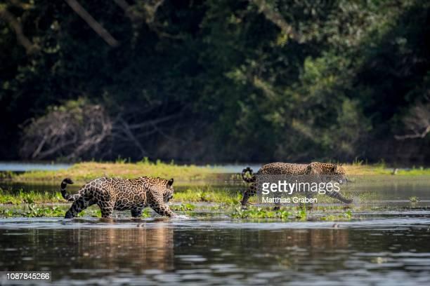 two jaguars (panthera onca) cross the rio negro, barranco alto, pantanal, mato grosso do sul, brazil - pantanal wetlands stock pictures, royalty-free photos & images