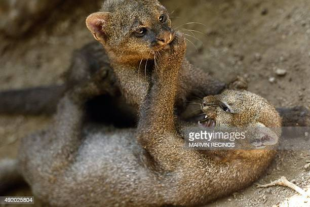 Two jaguarundi cubs play at the National Zoo of El Salvador in San Salvador on October 9 2015 Threemonth cubs were recovered by the National Civil...