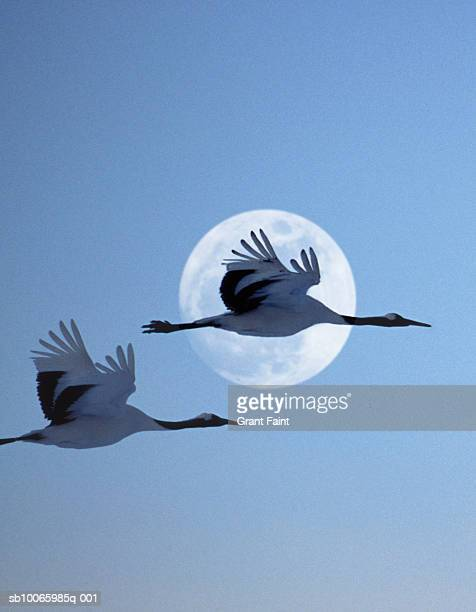Two Japanese cranes flying past moon at dusk
