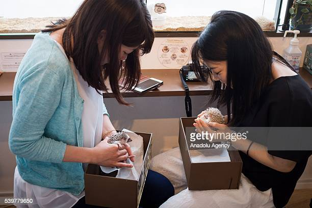 Two Japanese girls hold small hedgehogs at Harry Hedgehog's cafe in Roppongi district of Tokyo Japan on June 12 2016 The hedgehog's cafe is one of...
