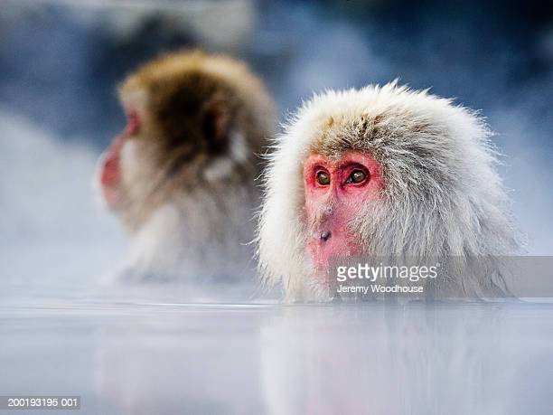 Two Japanese macaques (Macaca fuscata) soaking in hot spring