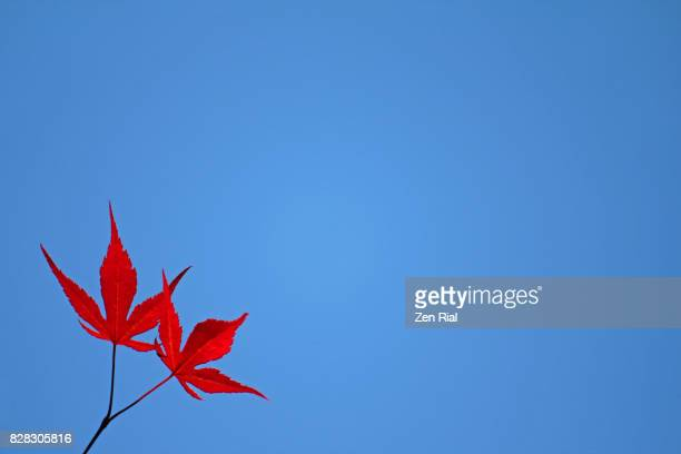 Two Japanese maple leaves against clear blue sky