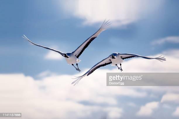 two japanese red crown crane flying in the sky, hokkaido, japan - manly wilder stock-fotos und bilder