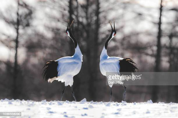 Two Japanese Red Crown Cranes in Winter, Kushiro, Japan