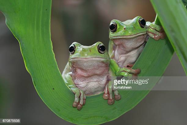 Two javan gliding tree frogs sitting side by side, Indonesia