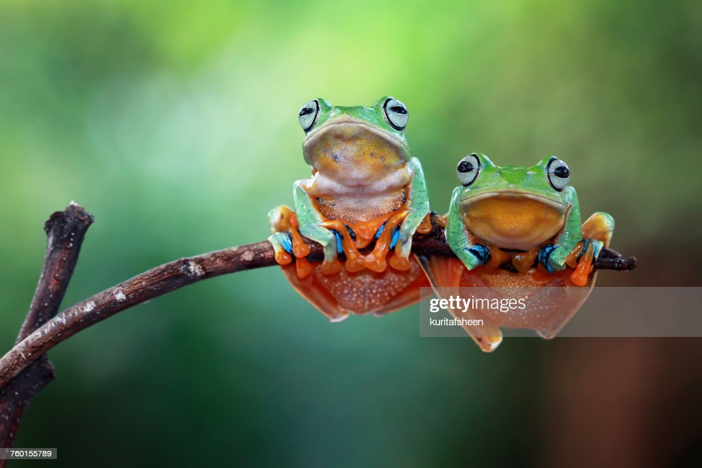 Two Javan tree frogs on branch, Indonesia : Stock Photo