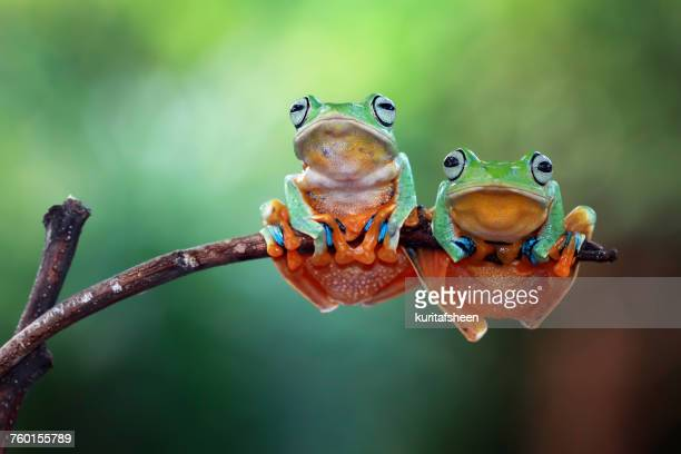 two javan tree frogs on branch, indonesia - two animals stock pictures, royalty-free photos & images