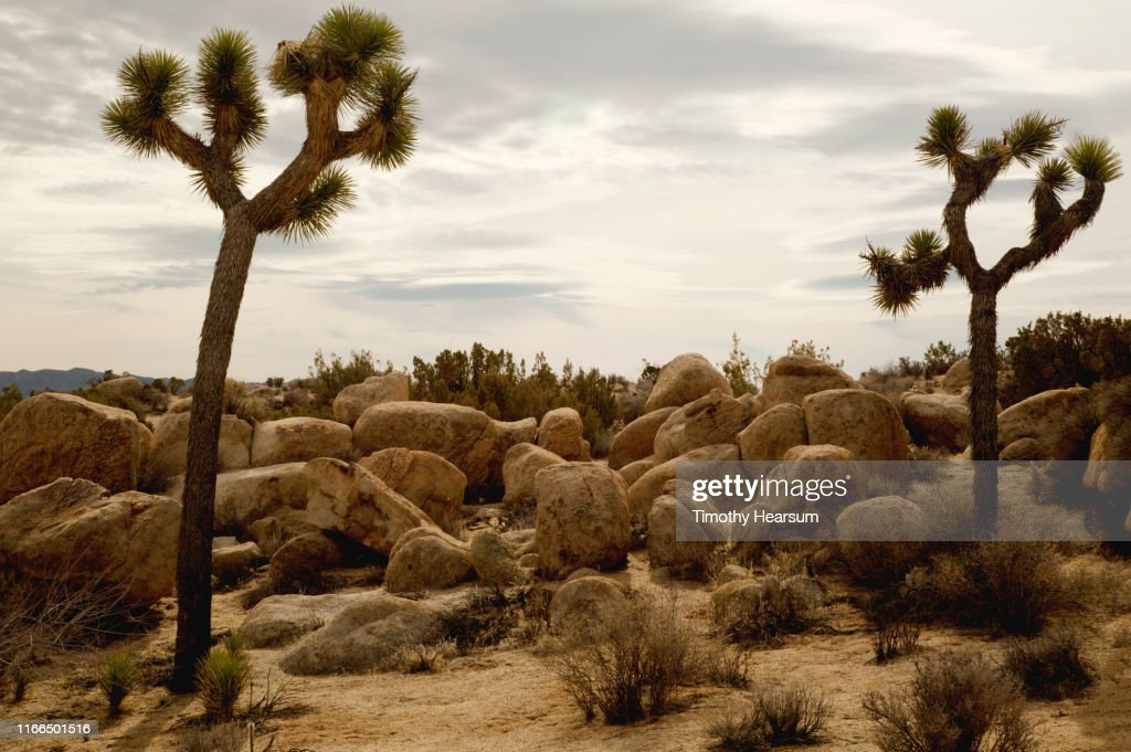 Two Joshua Trees with other desert plants and boulders; dramatic sky beyond : Stock Photo