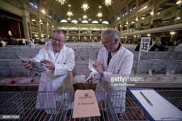 Two judges inspecting one of the entrants at the annual Royal Pigeon Racing Association Show of the Year at the Winter Gardens, Blackpool. The...