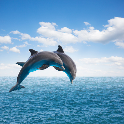 two  jumping dolphins 514343279