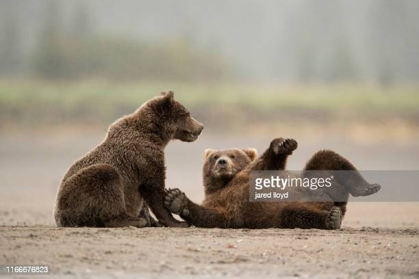 two juvenile coastal brown bears playing in the sand - 2匹 ストックフォトと画像