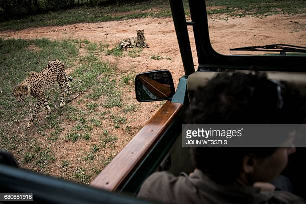 Two Juvenile male cheetahs are pictured from a car inside a closed camp at the Ann van Dyk Cheetah Centre on December 30 2016 in Hartbeespoort South...