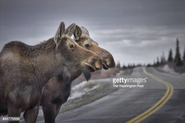 Two juvenile moose crossing the Denali Park Road At 92miles long the rugged paved and dirt road parallels the Alaska Range with many opportunities to...